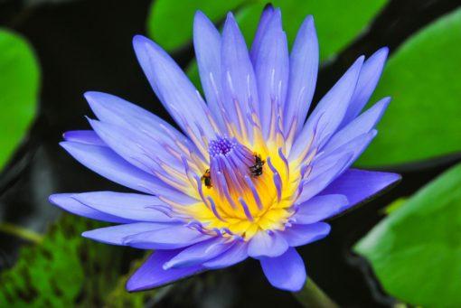 Isis et le lotus bleu , Ecole des mystères de la Déesse